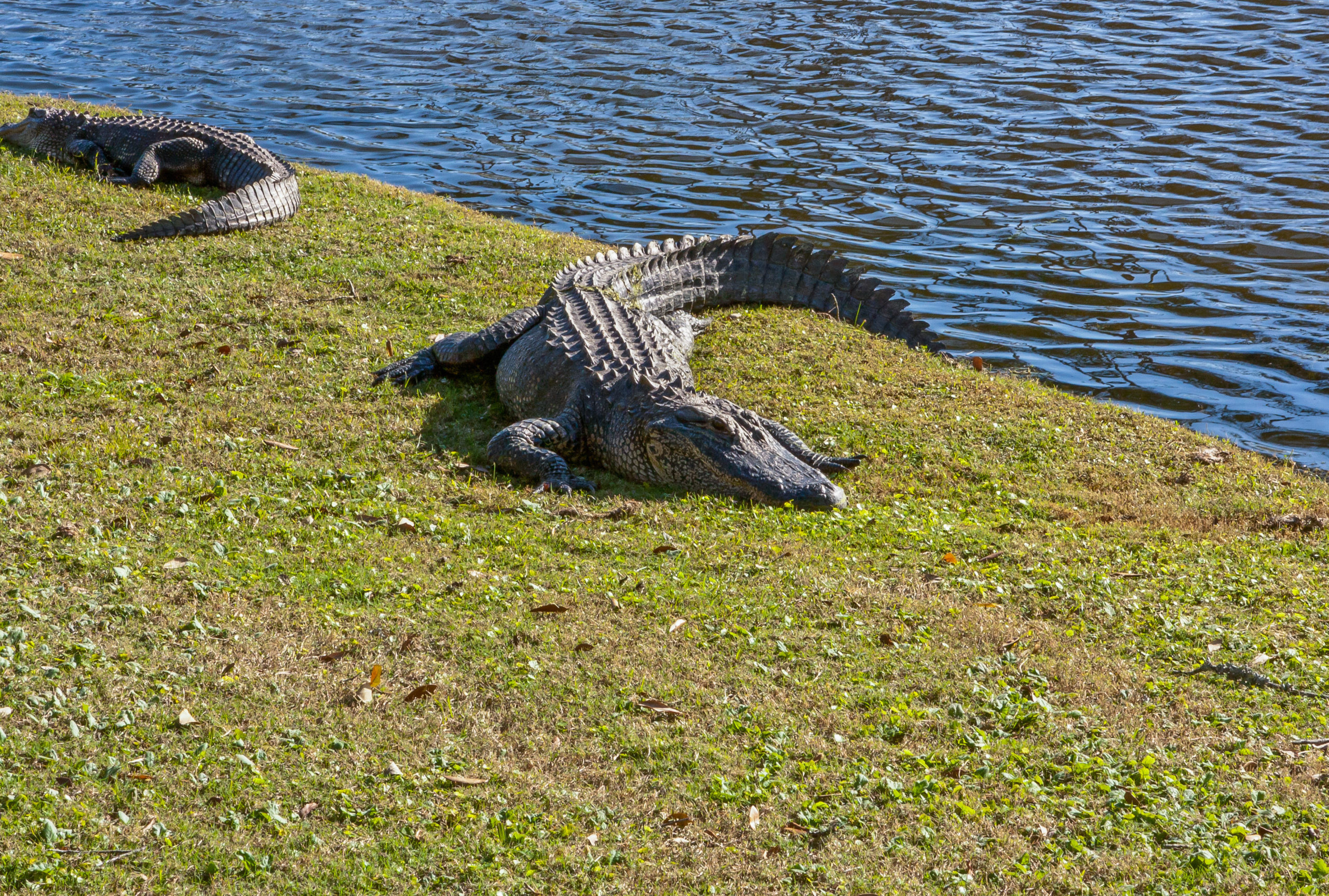 Florida Man Makes Epic Alligator Capture Using Only A Trash Can (VIDEO)